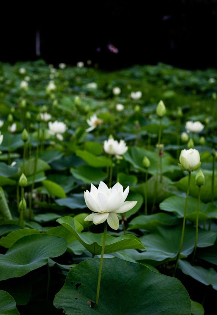 green, flower, lotus plants