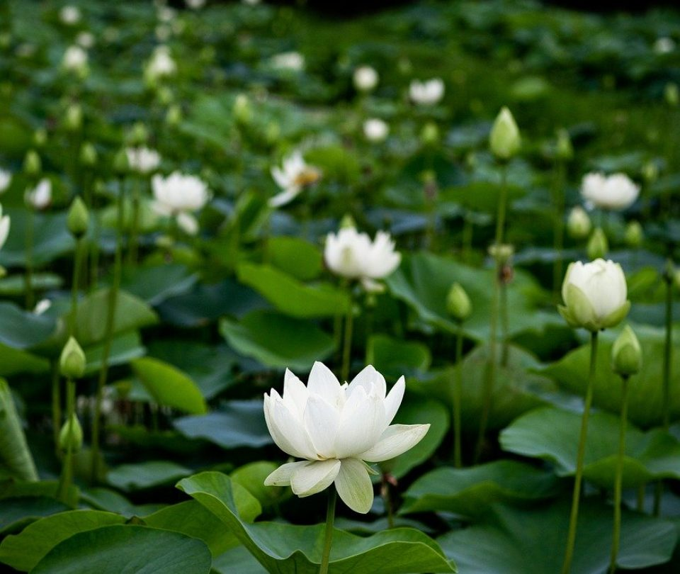 green, flower, lotus plants